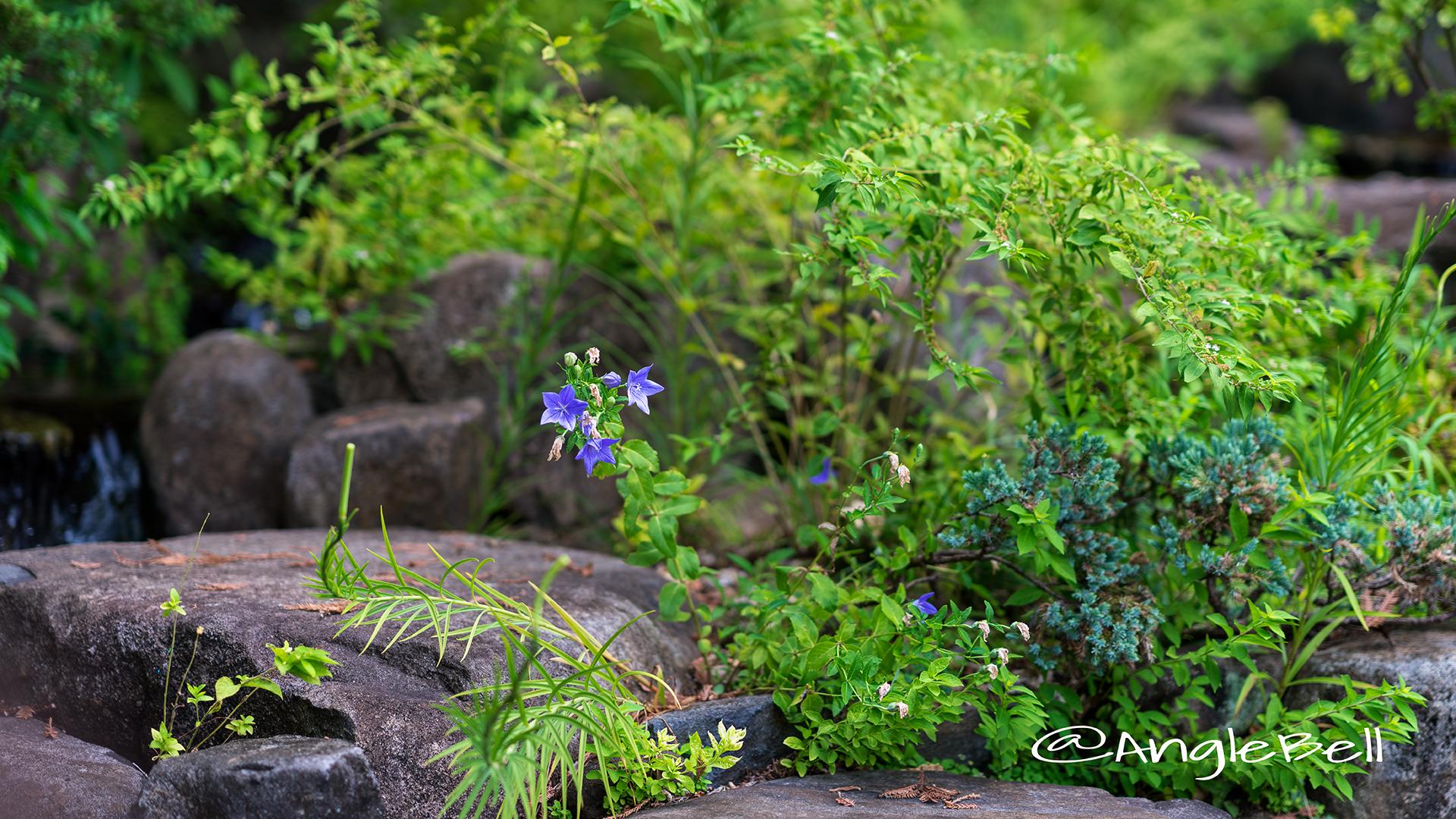 キキョウ 桔梗 Flower Photo1