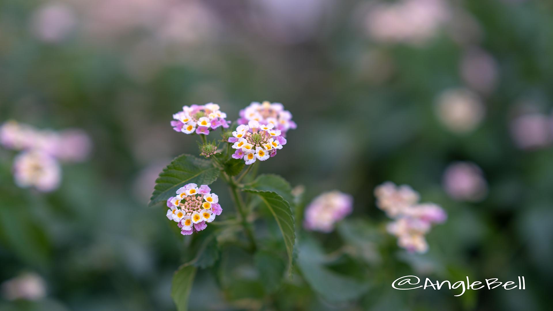 ランタナ Flower Photo3