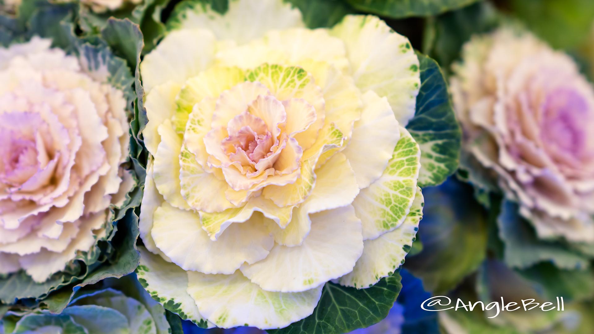 ハボタン 葉牡丹 Flower Photo1
