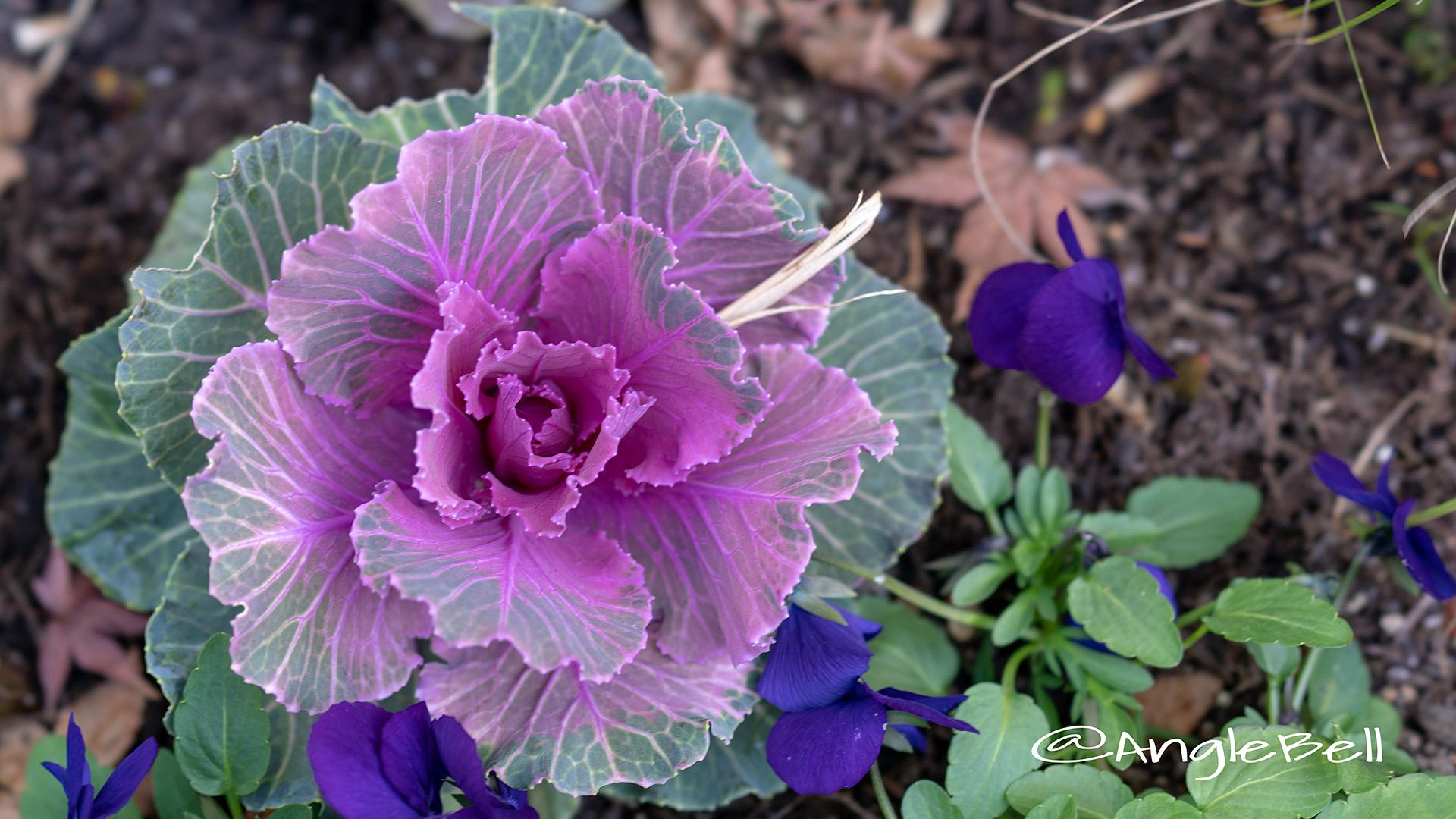 ハボタン 葉牡丹 Flower Photo2
