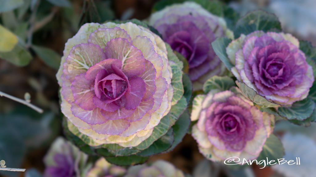 ハボタン 葉牡丹 Flower Photo3