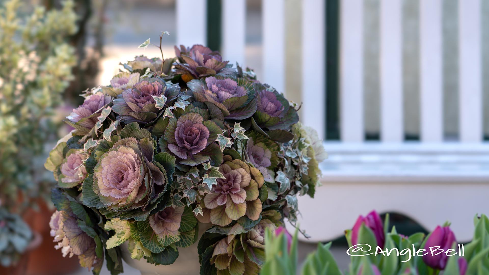 ハボタン 葉牡丹 Flower Photo4