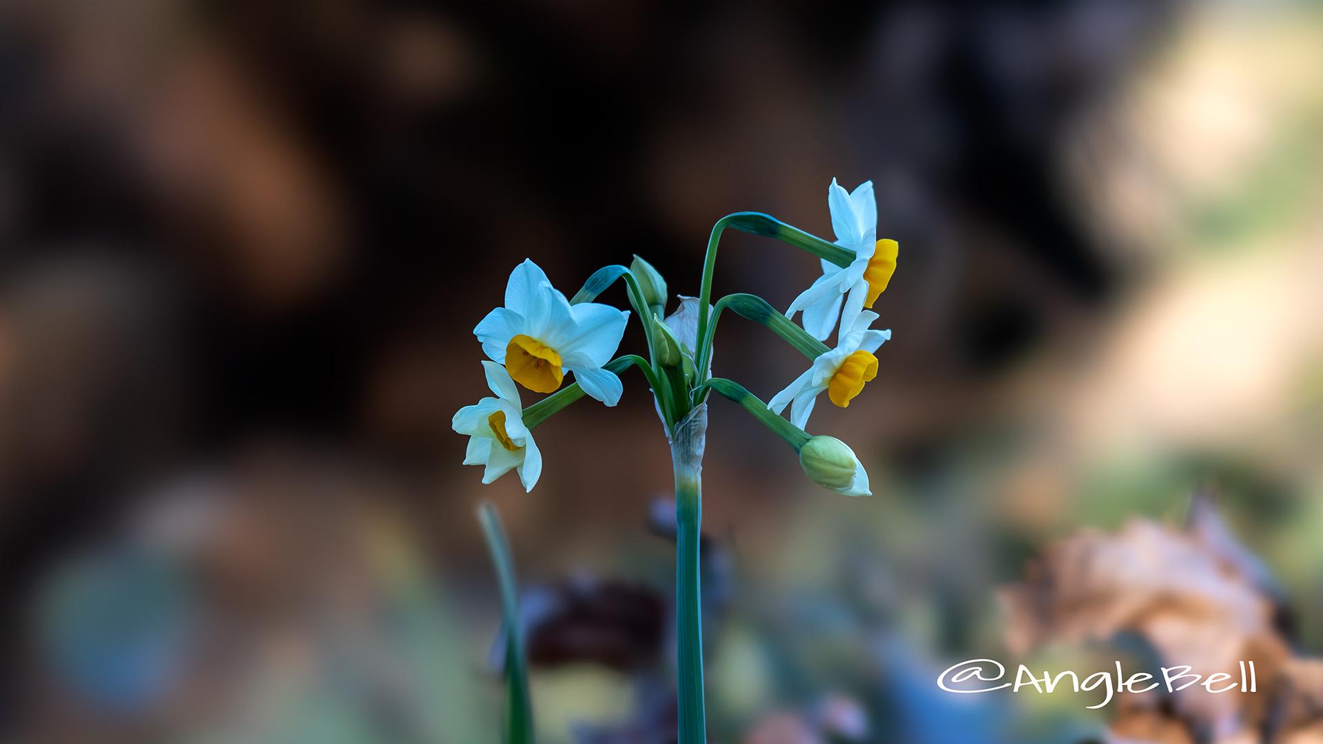 スイセン 水仙 Flower Photo5