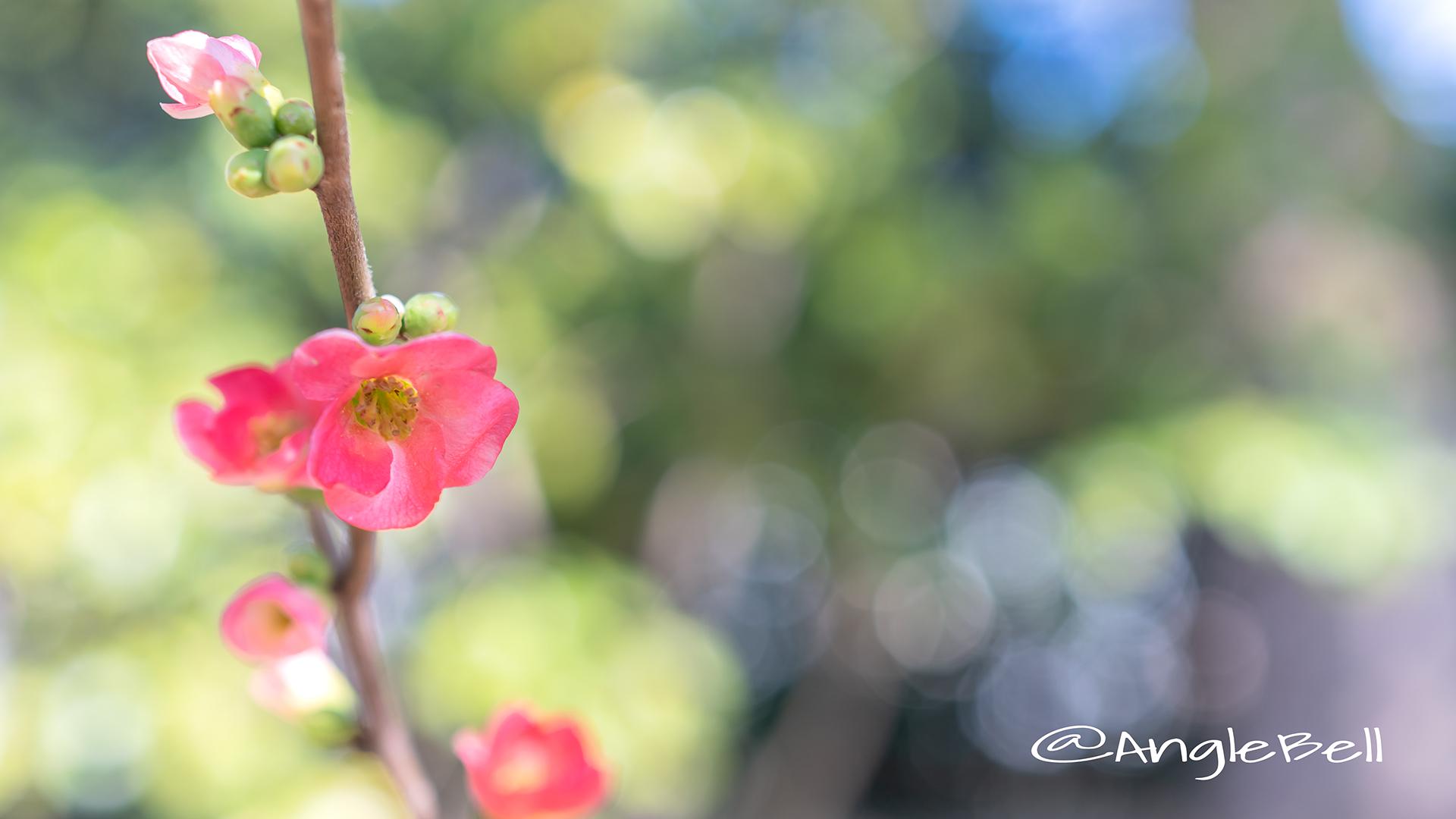 ボケ 木瓜 Flower Photo2019_01