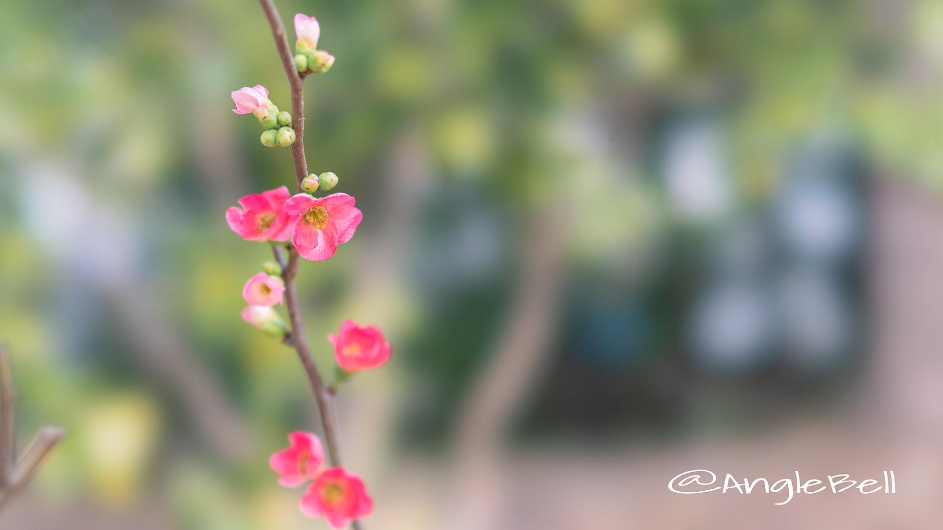 ボケ 木瓜 Flower Photo2019_02