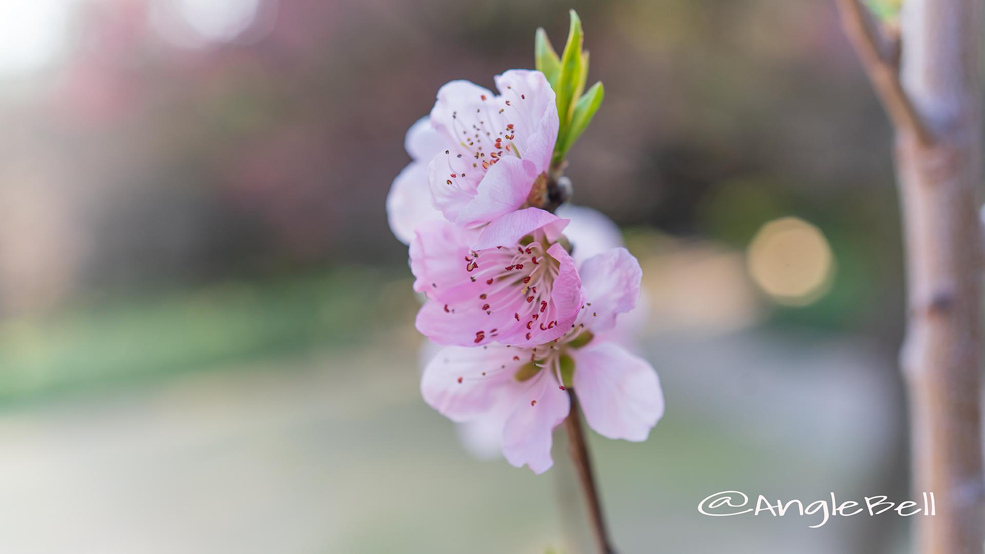 ひなの粧 (花桃) Flower Photo2
