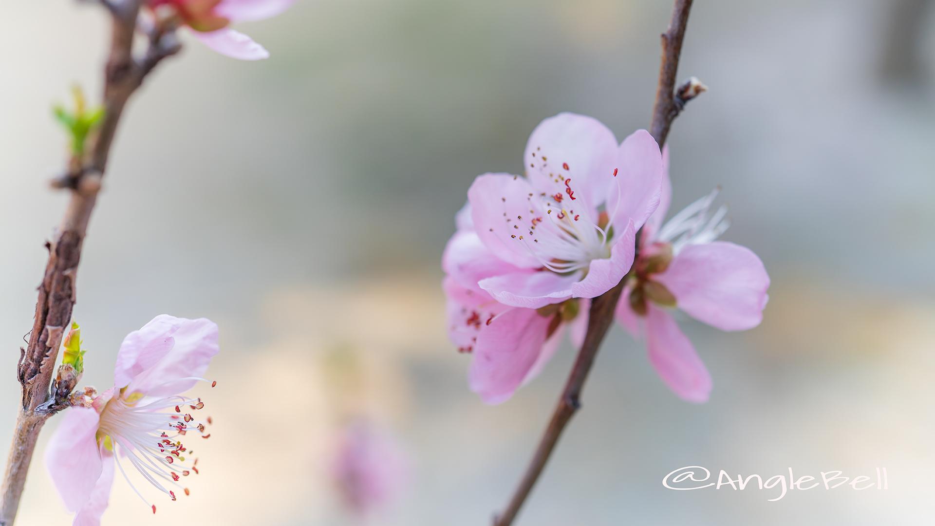 ひなの粧 (花桃) Flower Photo3