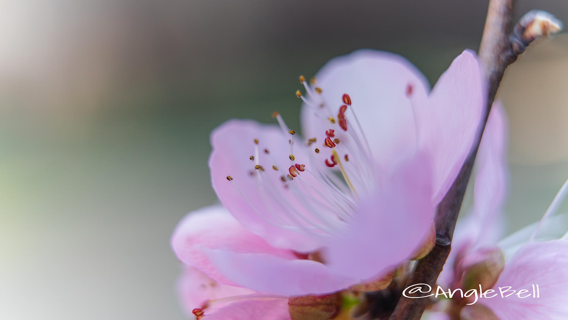 ひなの粧 (花桃) Flower Photo4