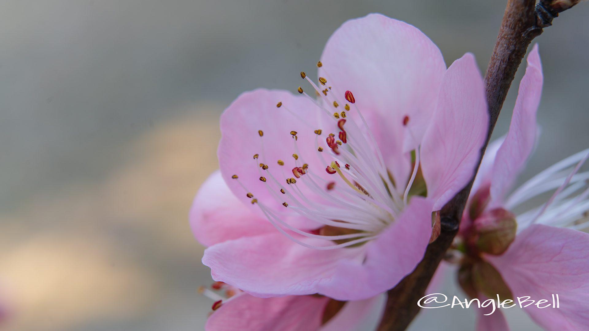 ひなの粧  (花桃)