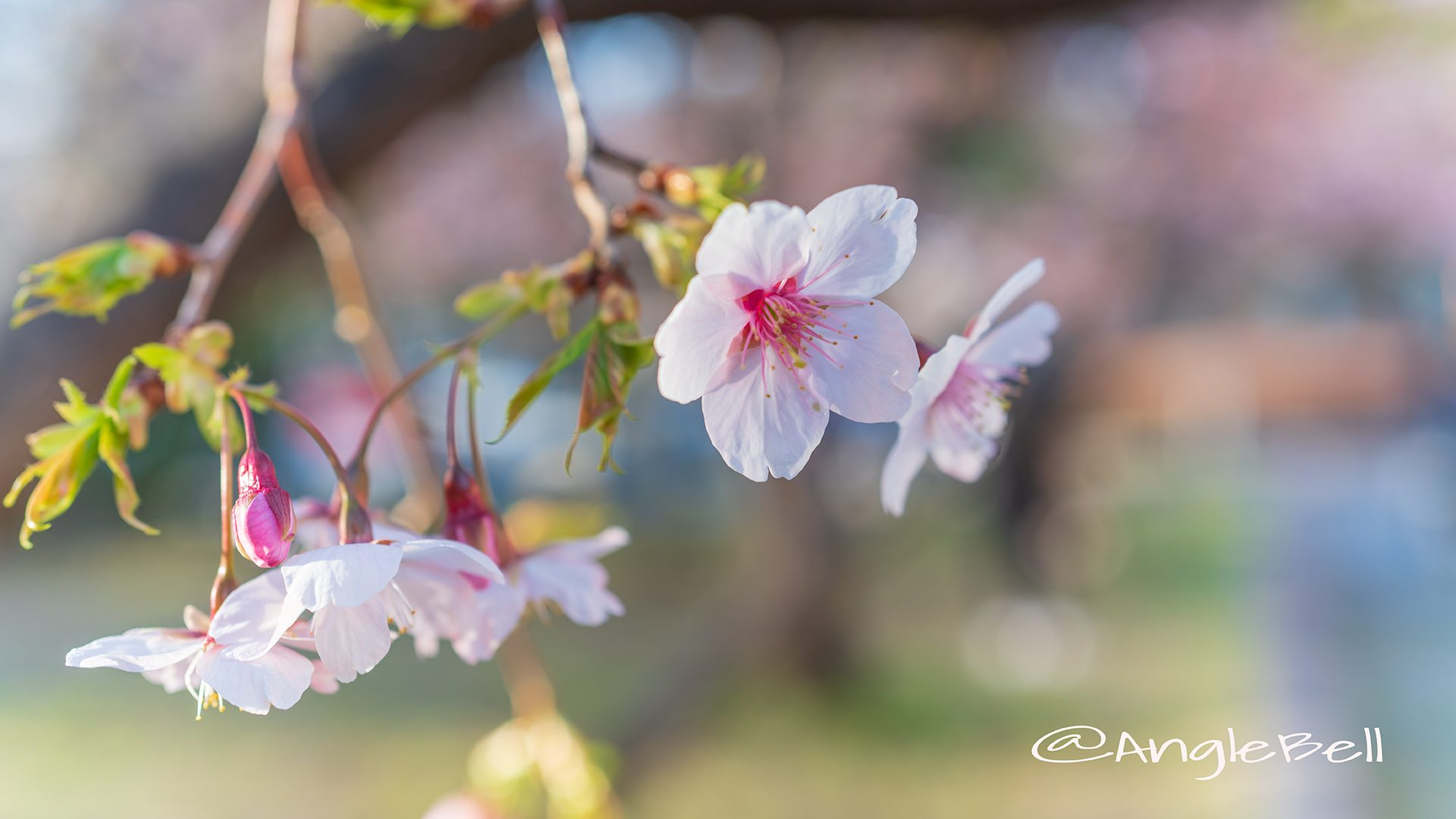 オオカンザクラ 大寒桜