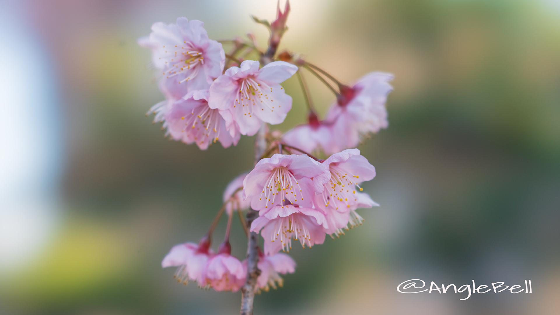 ツバキカンザクラ 椿寒桜 Flower Photo2019_01