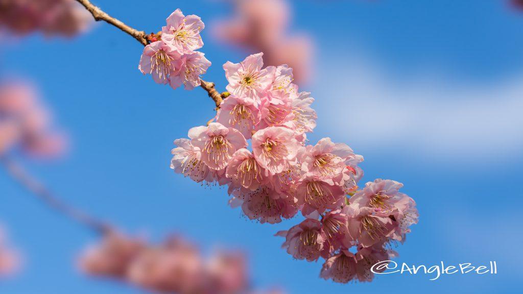 ツバキカンザクラ 椿寒桜 Flower Photo2019_04