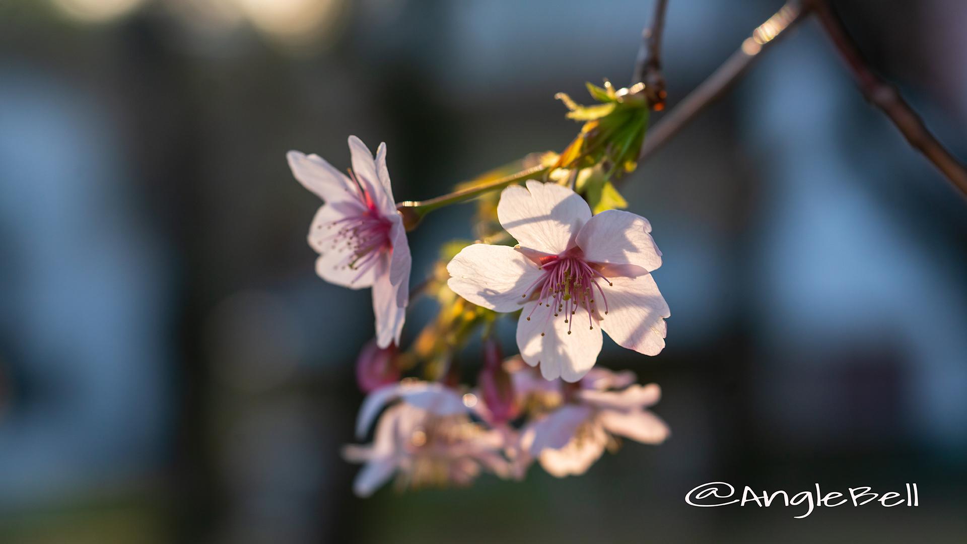 オオカンザクラ 大寒桜 Flower Photo2019_04