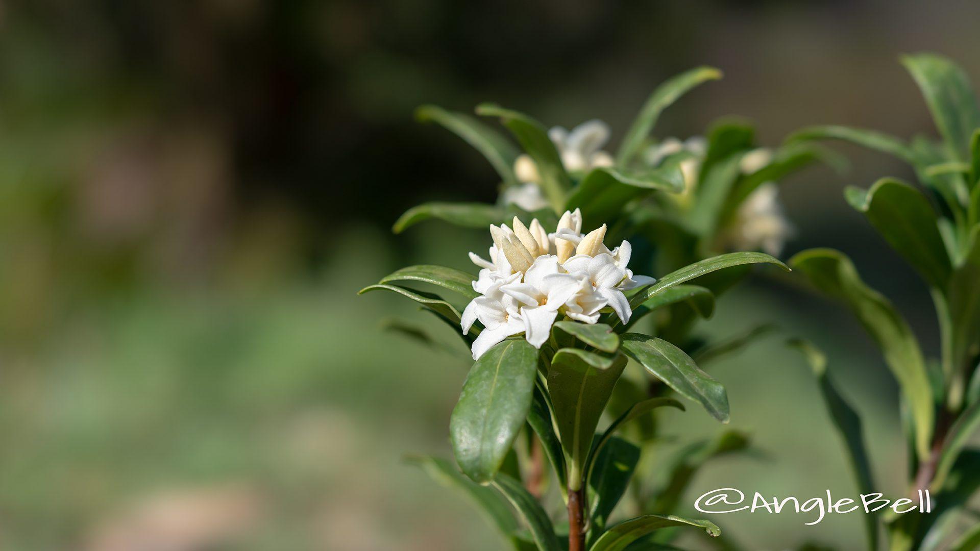 ジンチョウゲ 沈丁花