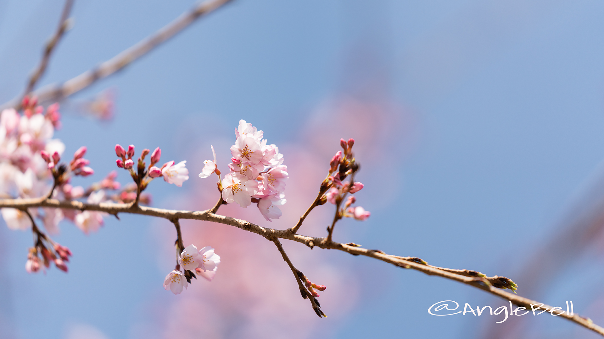 イトサクラ 糸桜 Flower Photo2019_01