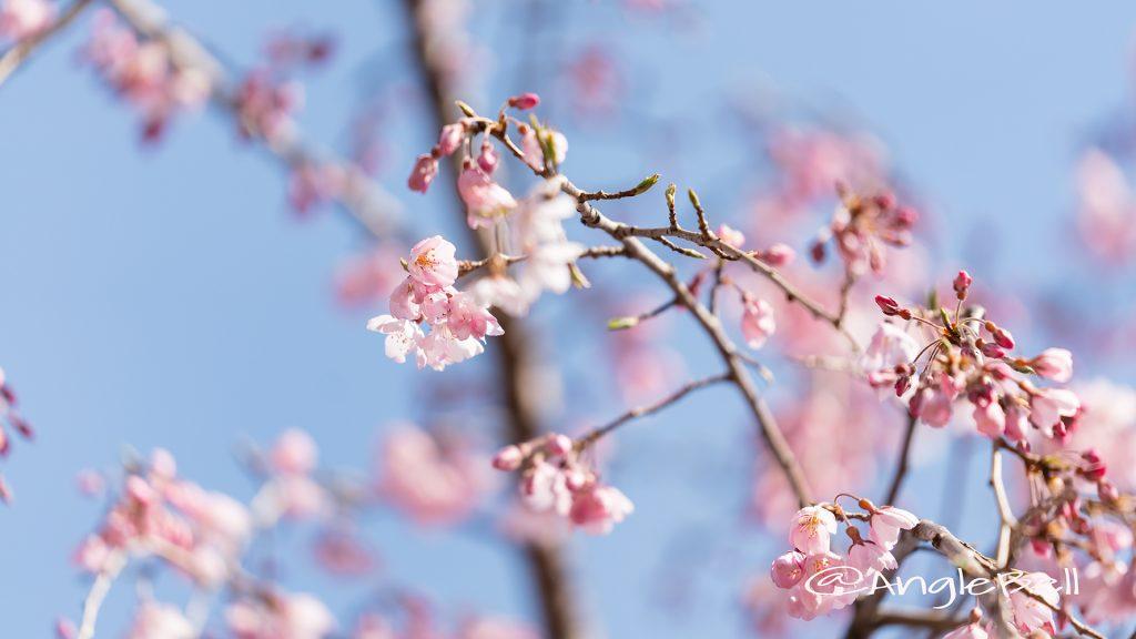 イトサクラ 糸桜 Flower Photo2019_02