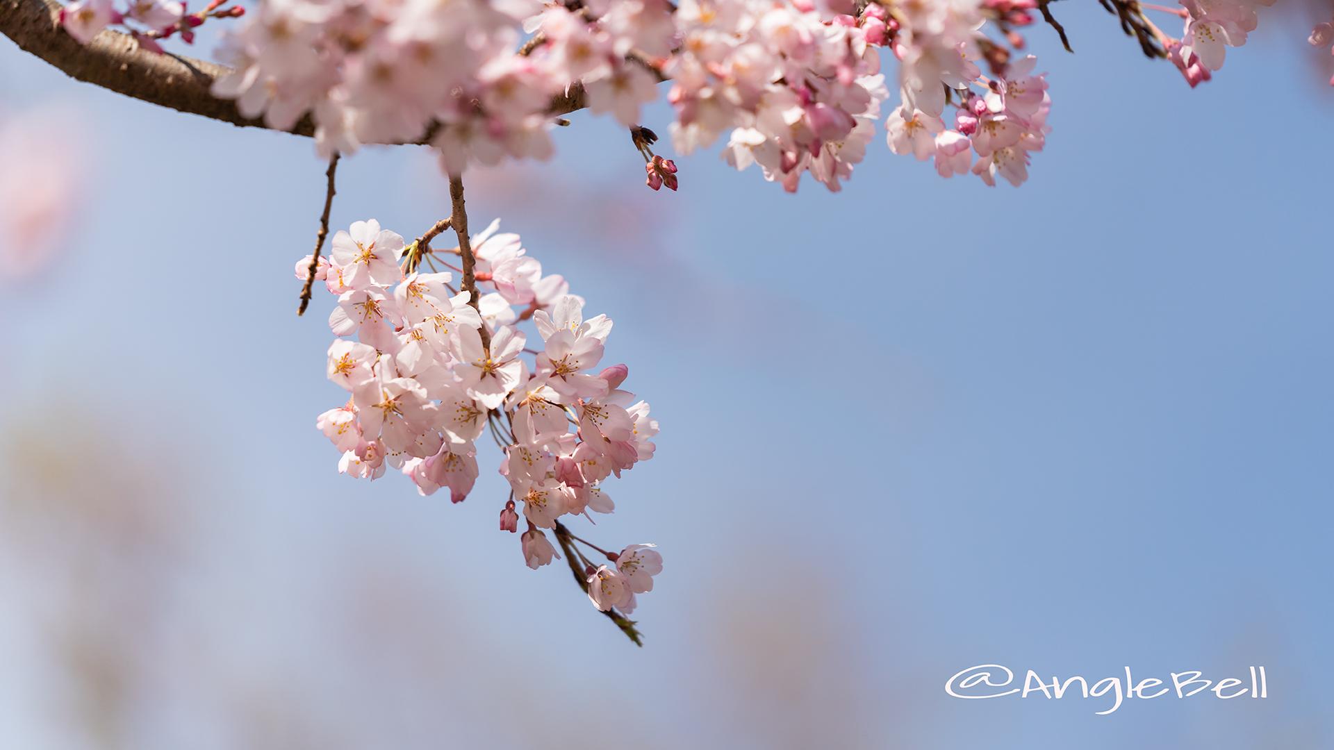 イトサクラ 糸桜 Flower Photo2019_03