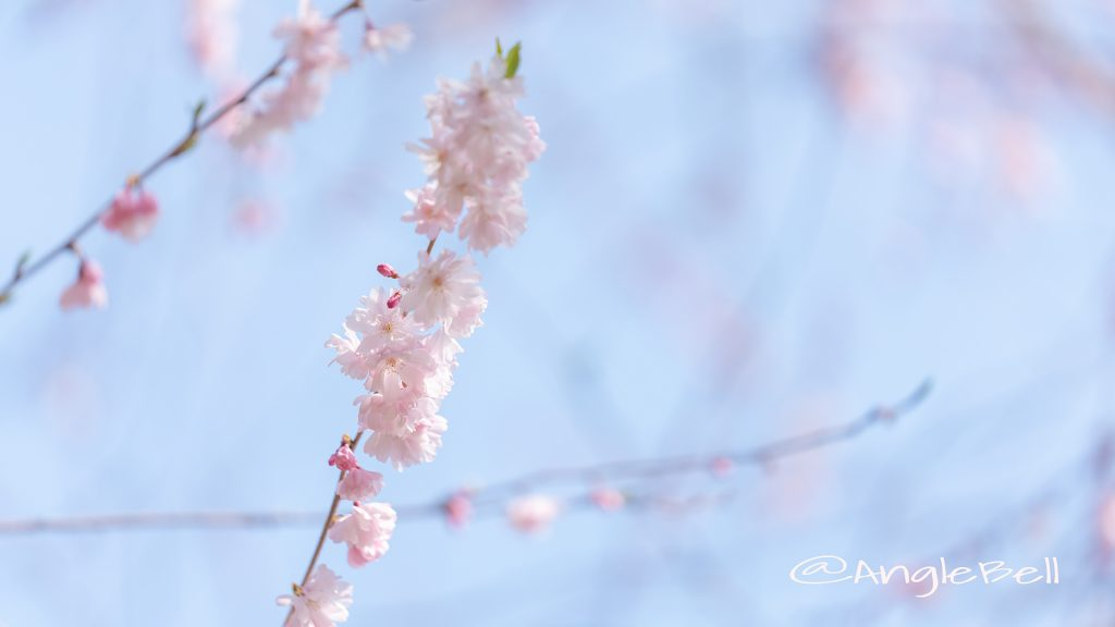 ホザキヒガンヤエザクラ 穂咲彼岸八重桜 Flower Photo1