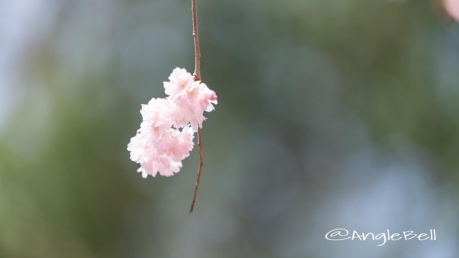ホザキヒガンヤエザクラ 穂咲彼岸八重桜 Flower Photo2