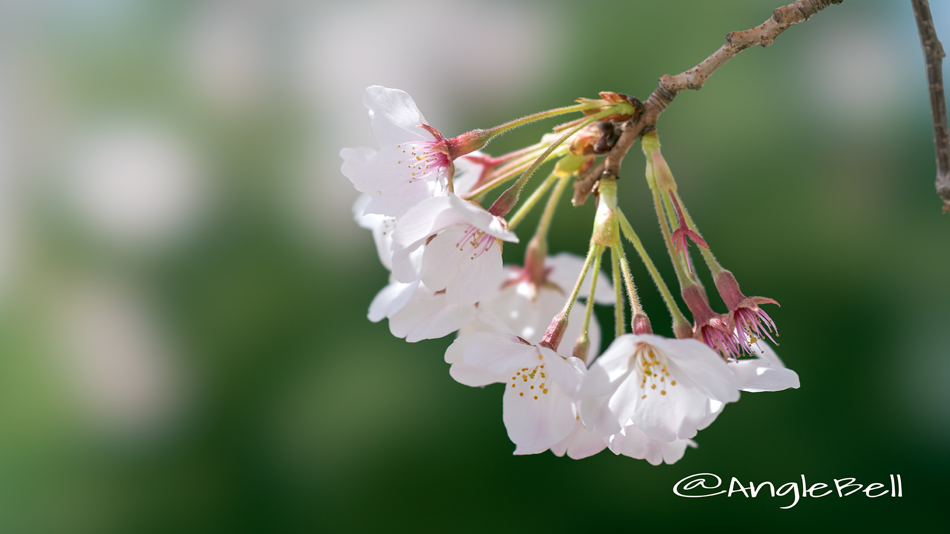 ソメイヨシノ 染井吉野 Flower Photo1