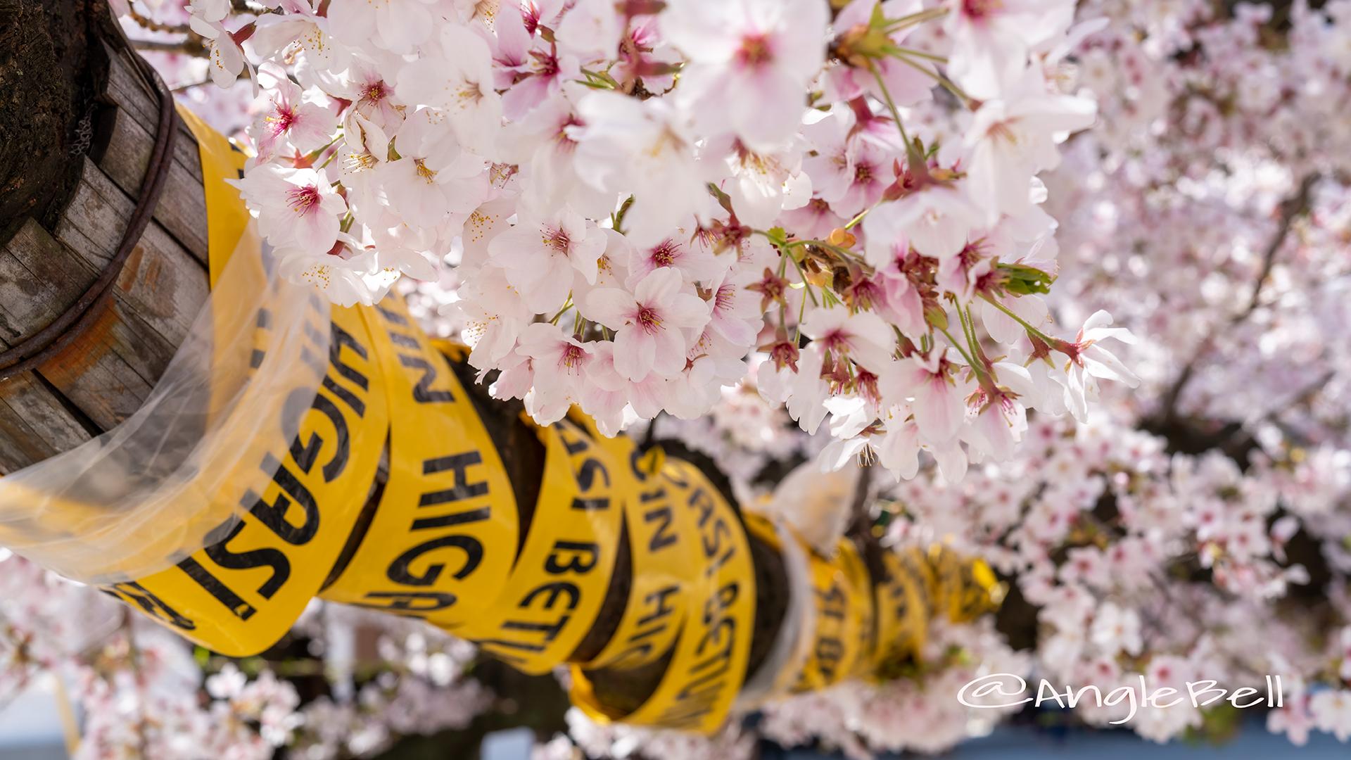 ソメイヨシノ 染井吉野 Flower Photo2