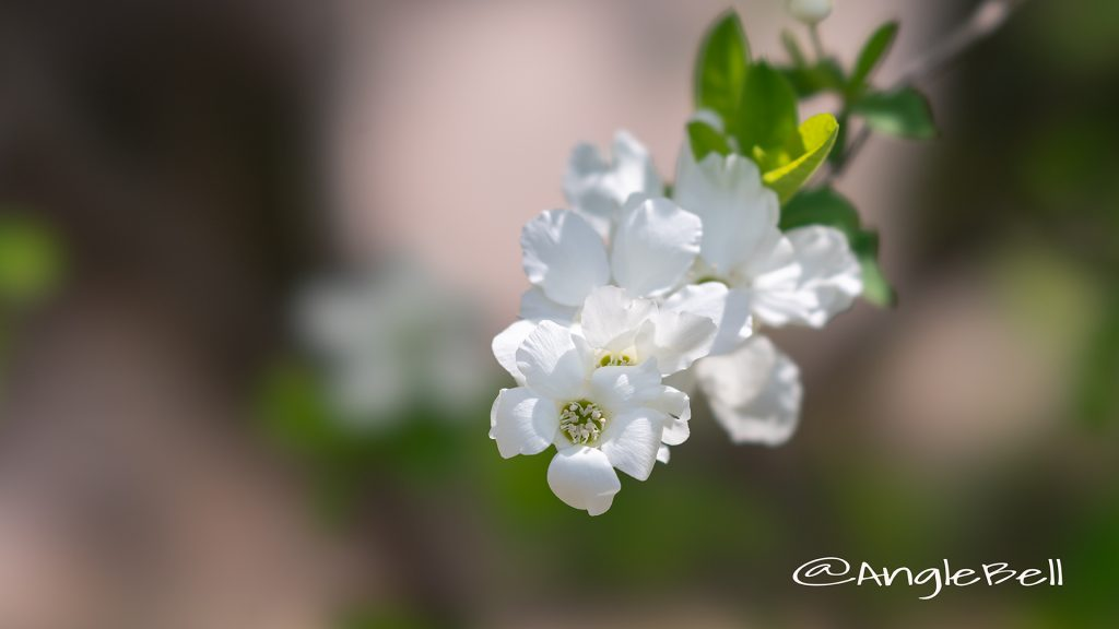 リキュウバイ 利休梅 Flower Photo2
