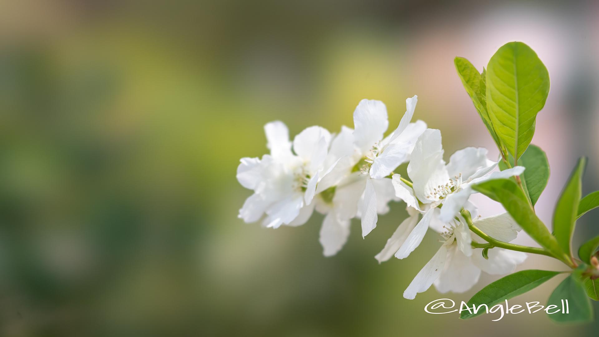 リキュウバイ 利休梅 Flower Photo1
