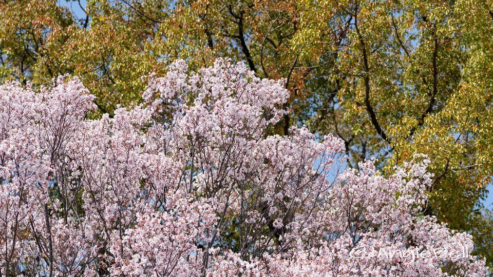 トウカイザクラ 東海桜