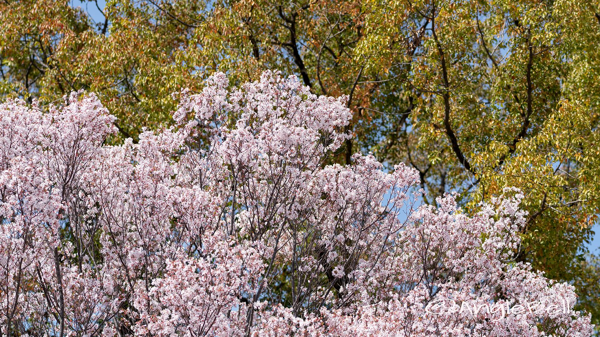 トウカイザクラ 東海桜 Flower Photo3