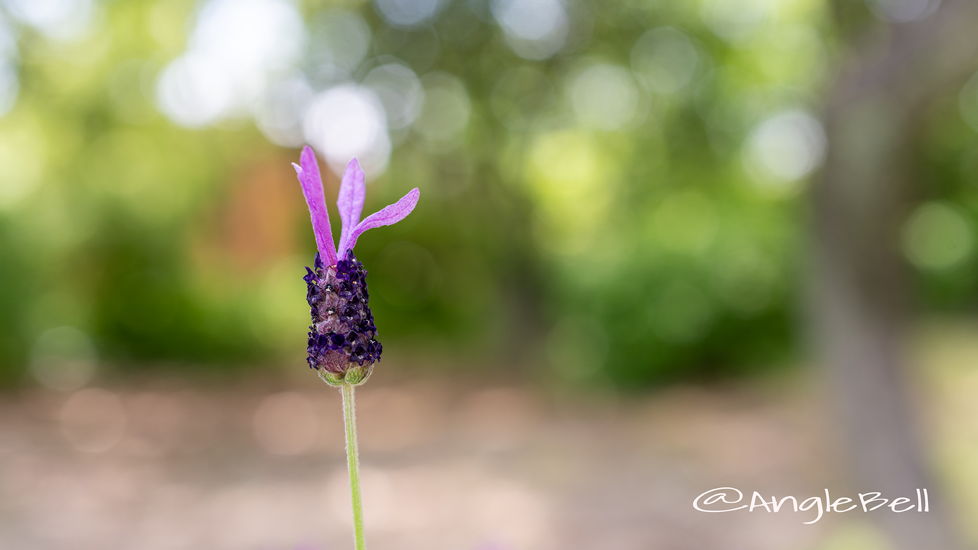 フレンチラベンダー Flower Photo2