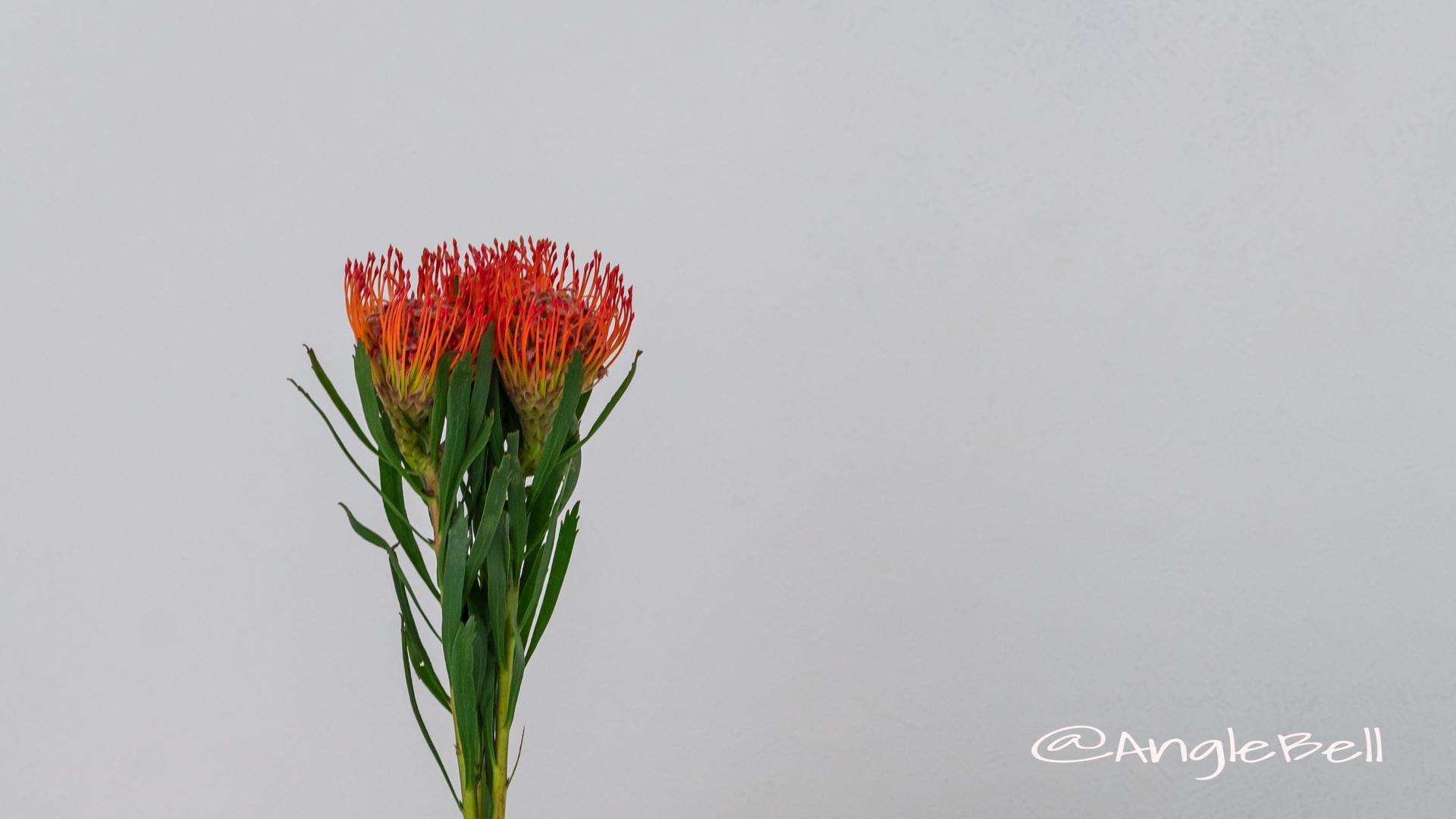 ピンクッション Flower Photo5