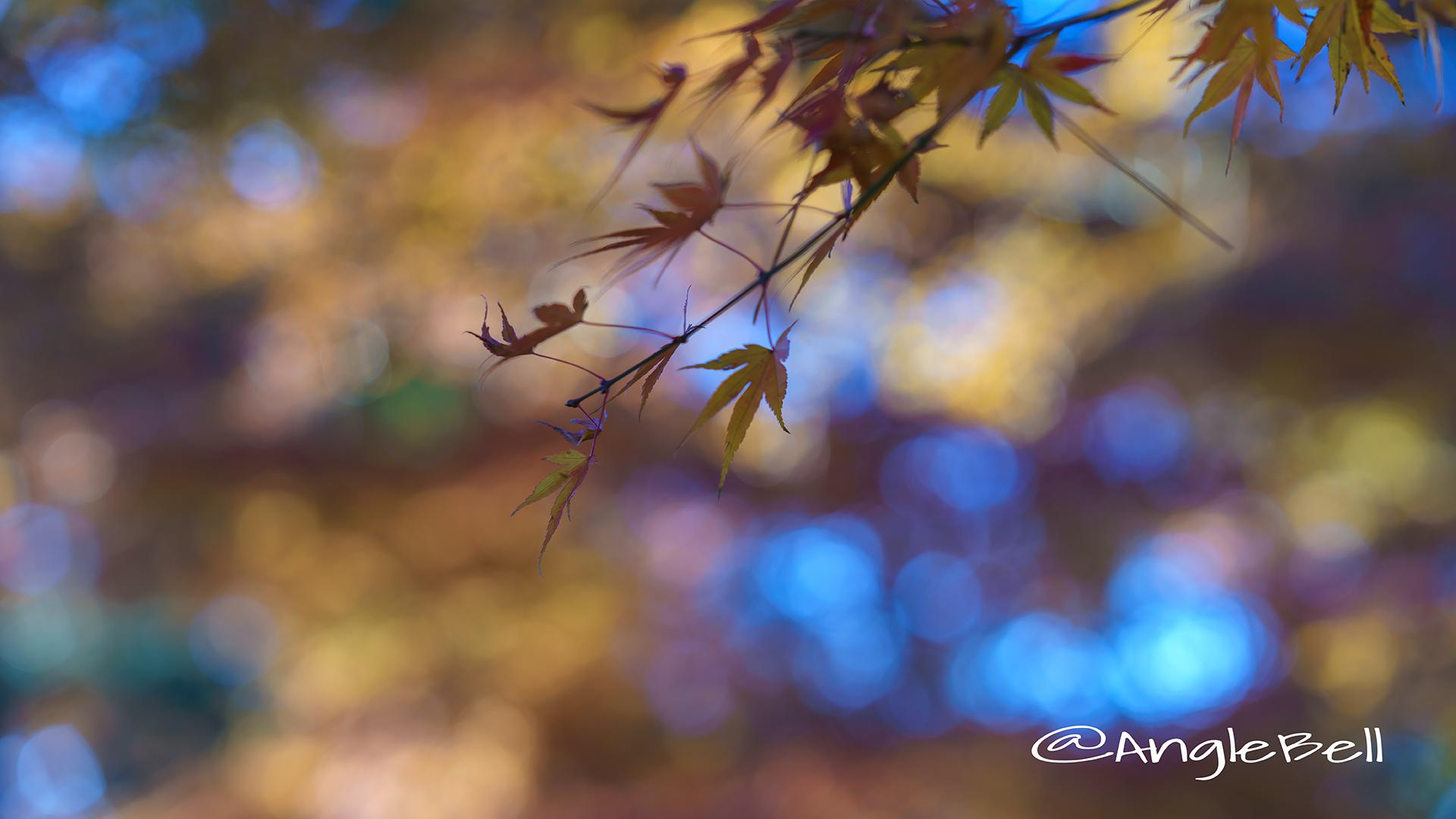カエデ 楓 Flower Photo2017_1