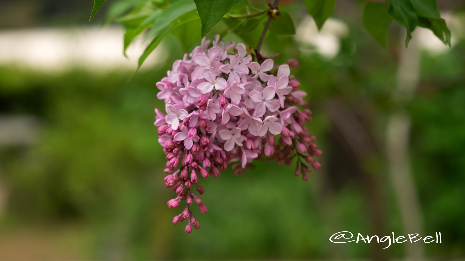 ライラック Flower Photo1