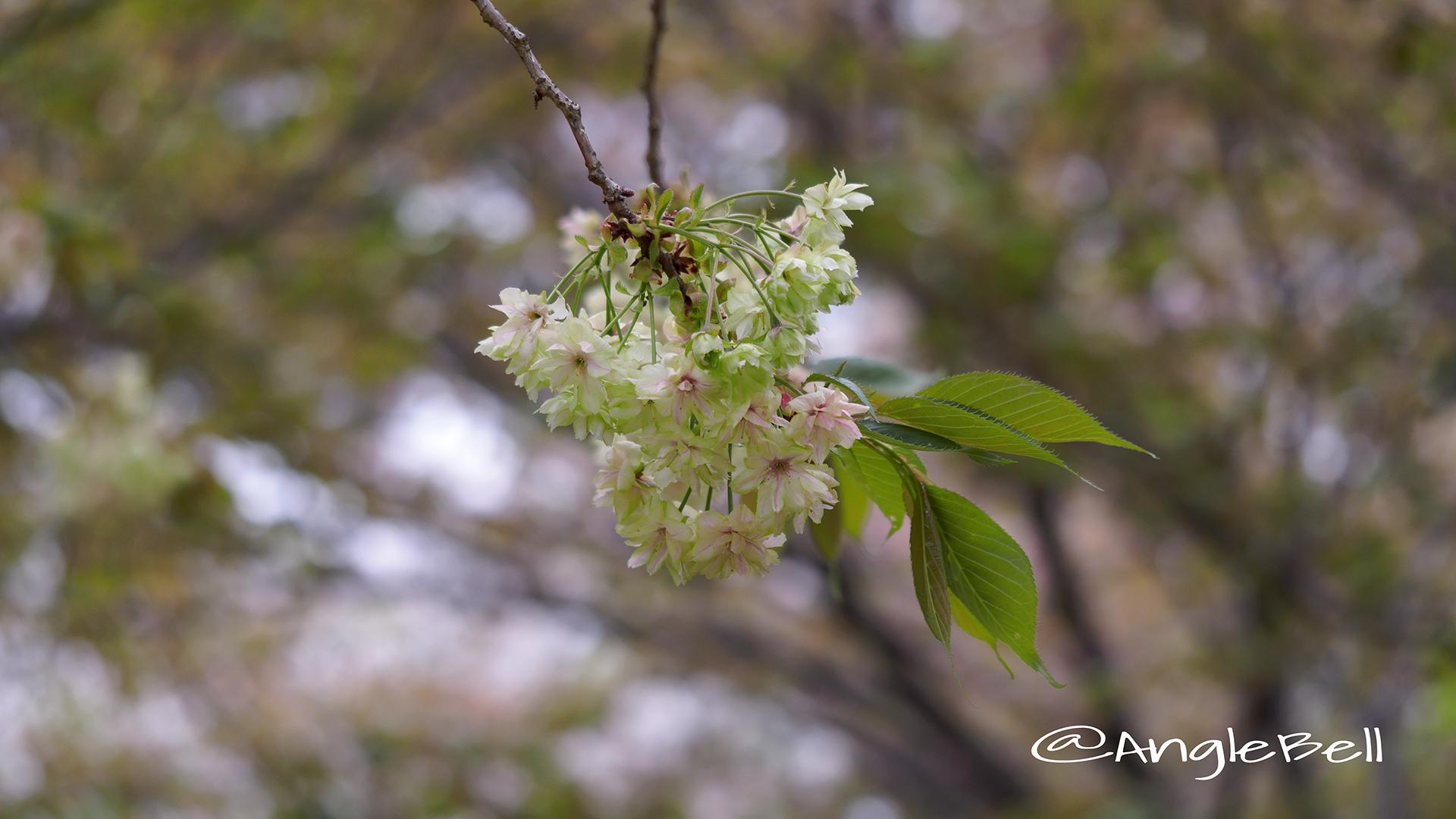 ギョイコウ 御衣黄 Flower Photo5