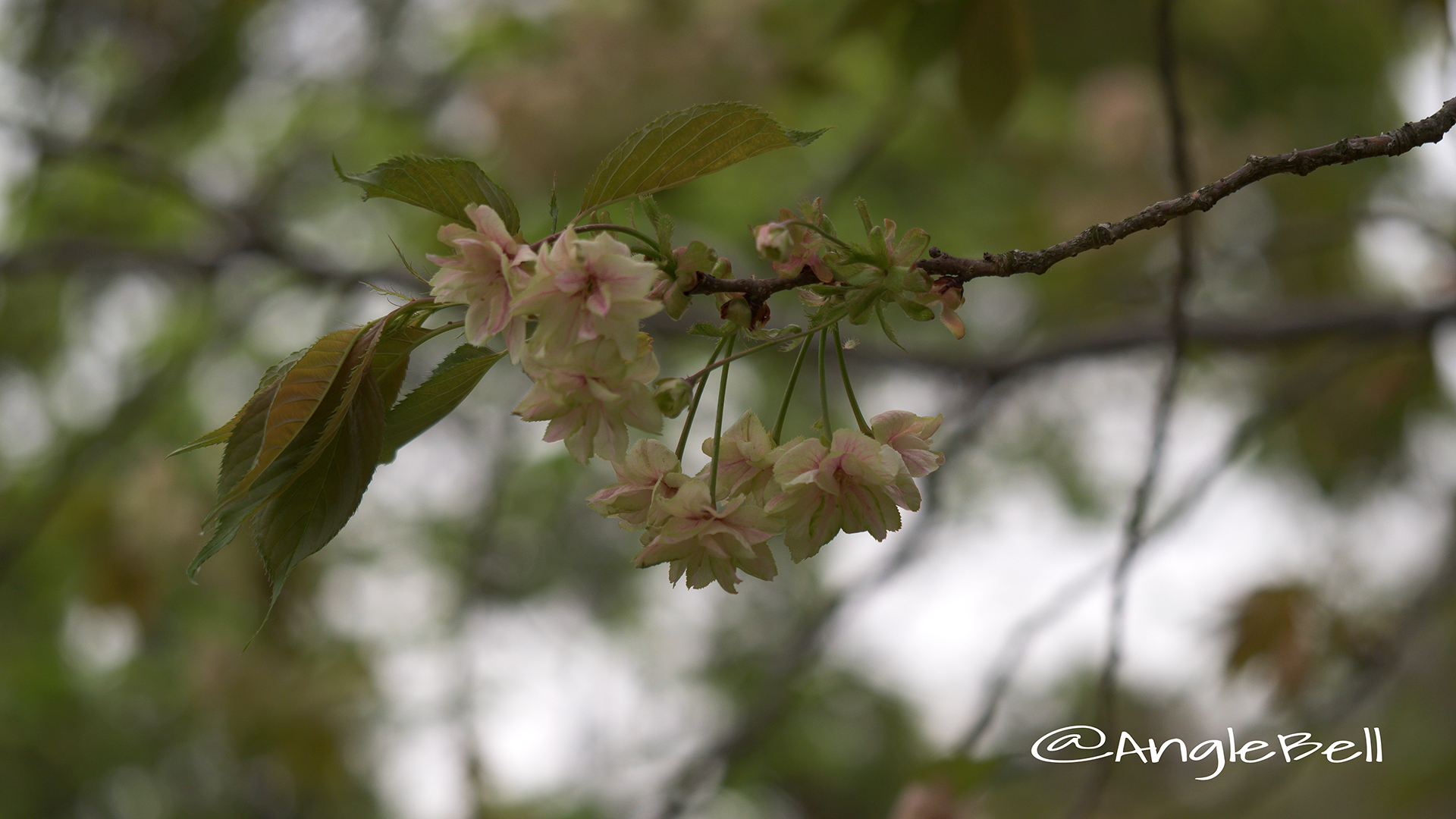 ギョイコウ 御衣黄 Flower Photo4