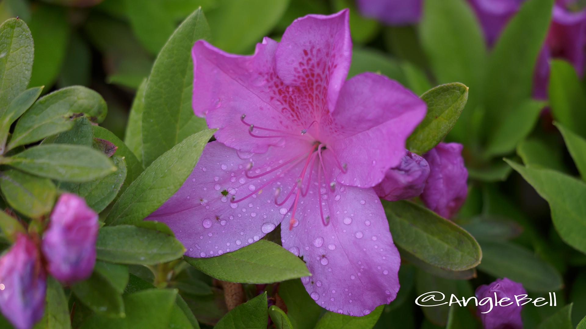 オオムラサキツツジ 大紫躑躅 Flower Photo3