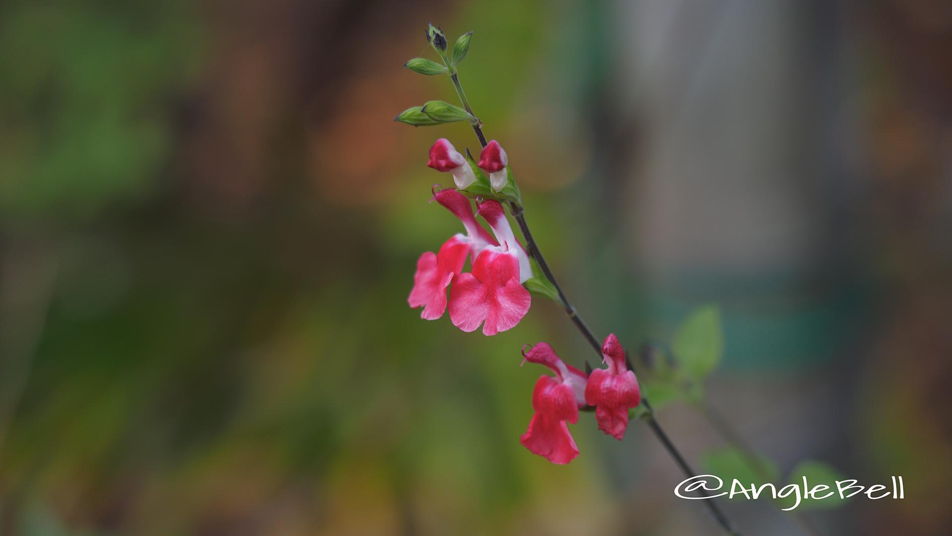 チェリーセージ Flower Photo2
