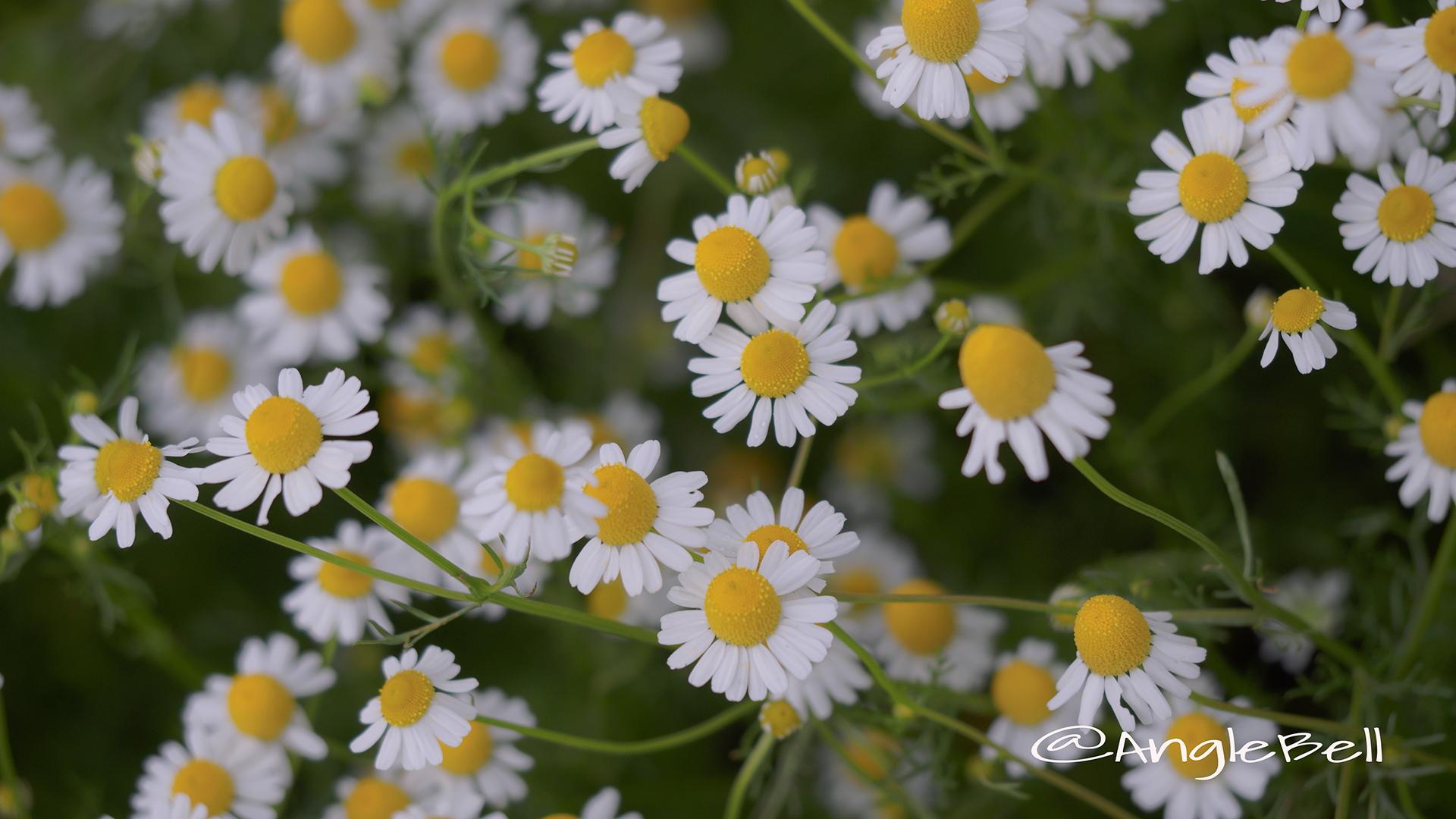 ジャーマンカモミール Flower Photo5