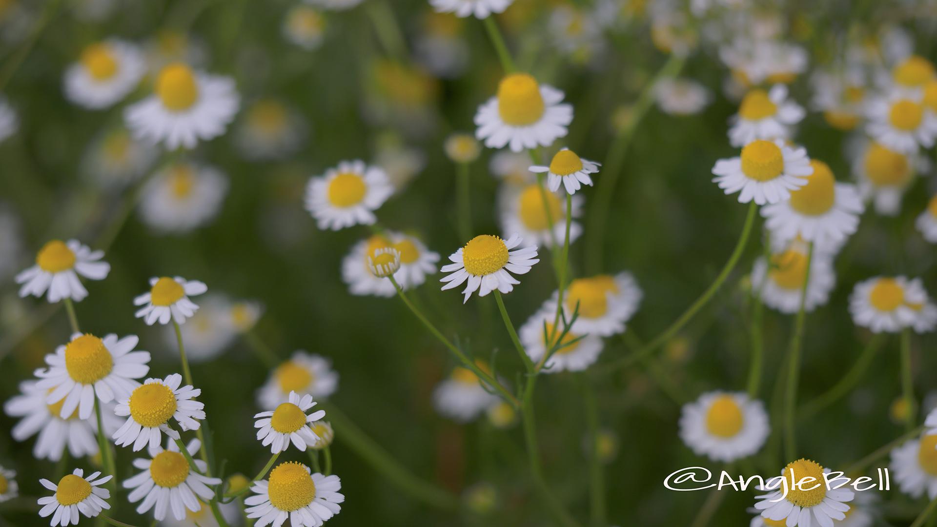 ジャーマンカモミール Flower Photo4