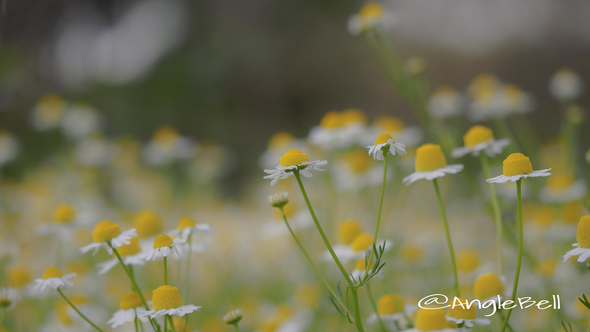 ジャーマンカモミール Flower Photo3