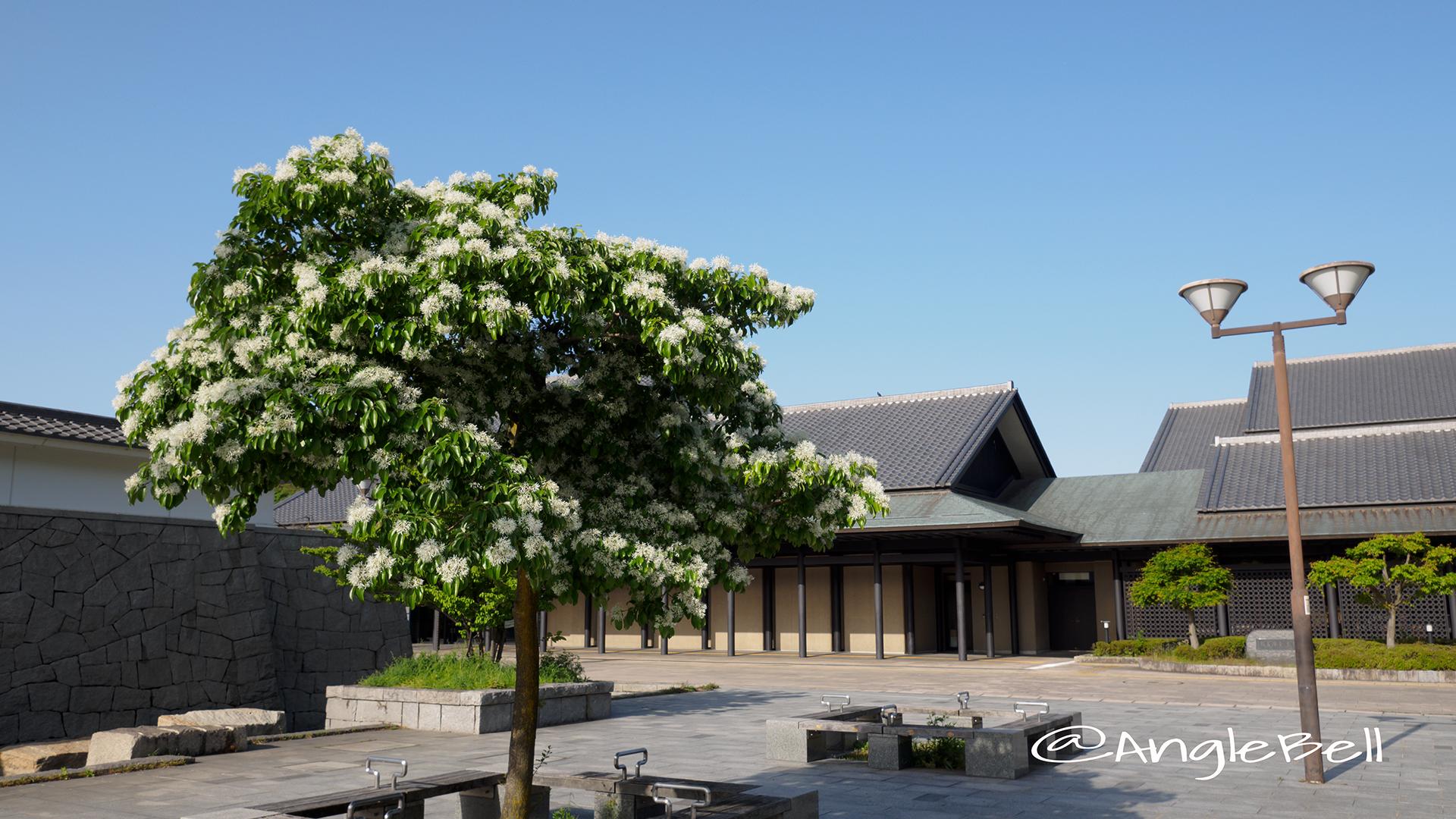 ヒトツバタゴ 一つ葉タゴ Flower Photo3