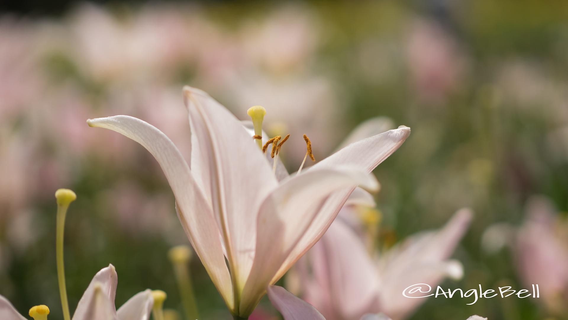 ユリ 百合 Flower Photo5