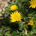 アルクトテカ・カレンデュラ Flower Photo1