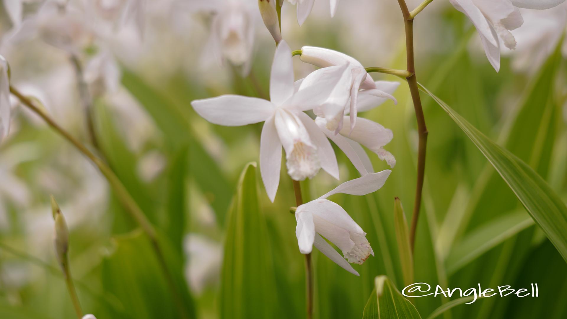 白花斑入り紫蘭 Flower Photo5