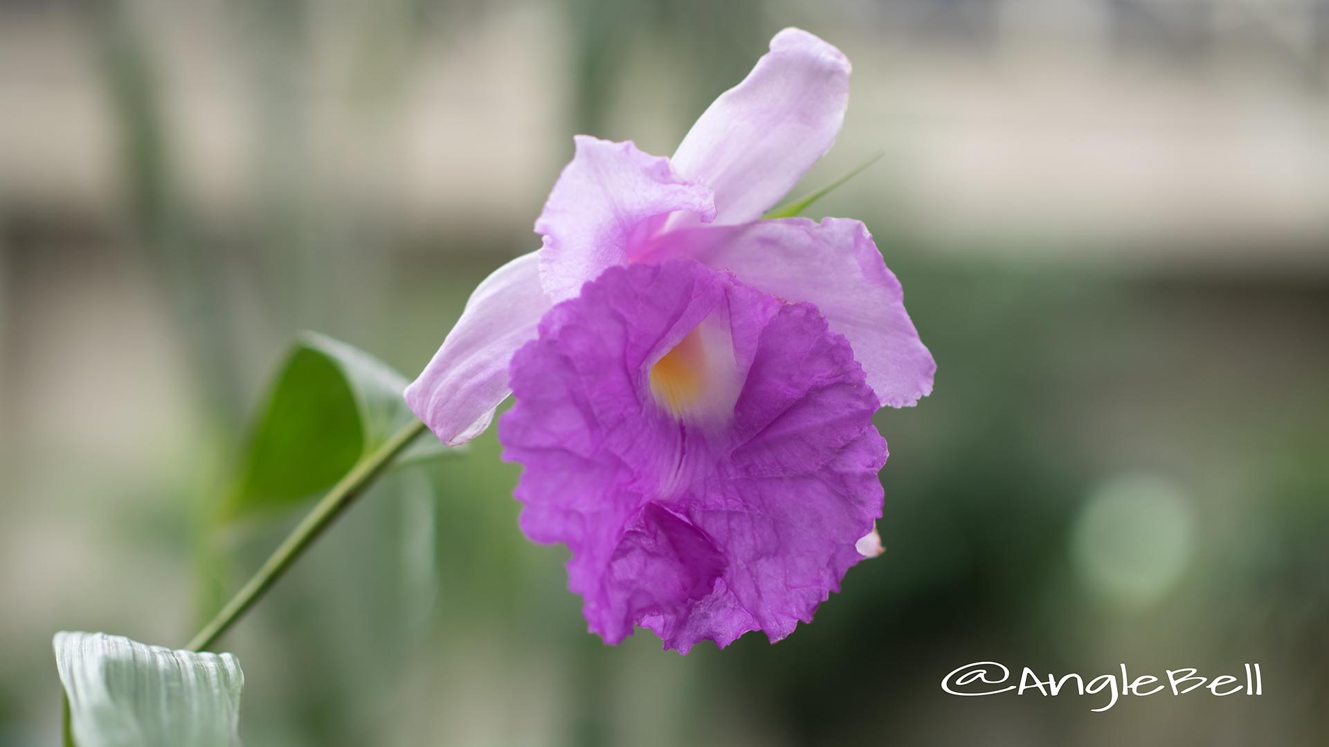 ソブラリア マクランタ Flower Photo2