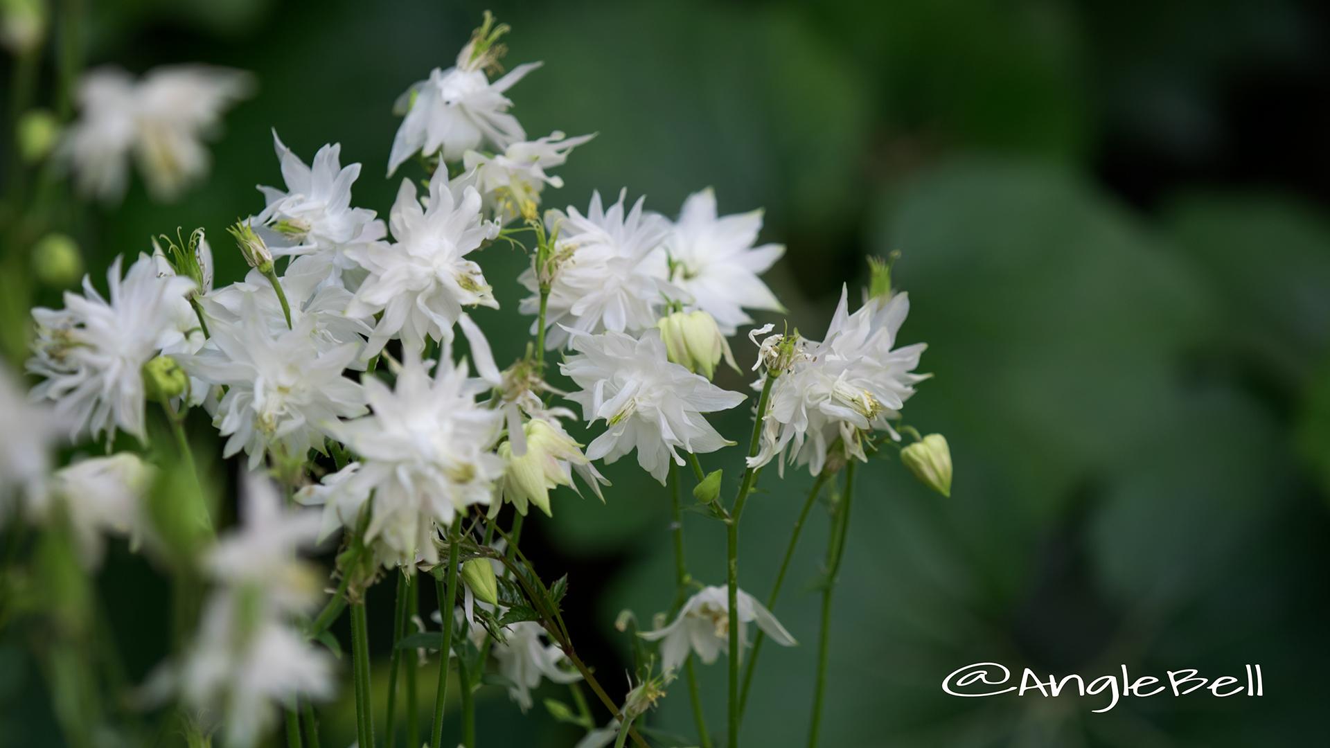 セイヨウオダマキ グリーンアップルズ Flower Photo2