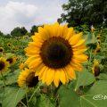 ヒマワリ サンリッチマンゴー Flower Photo1