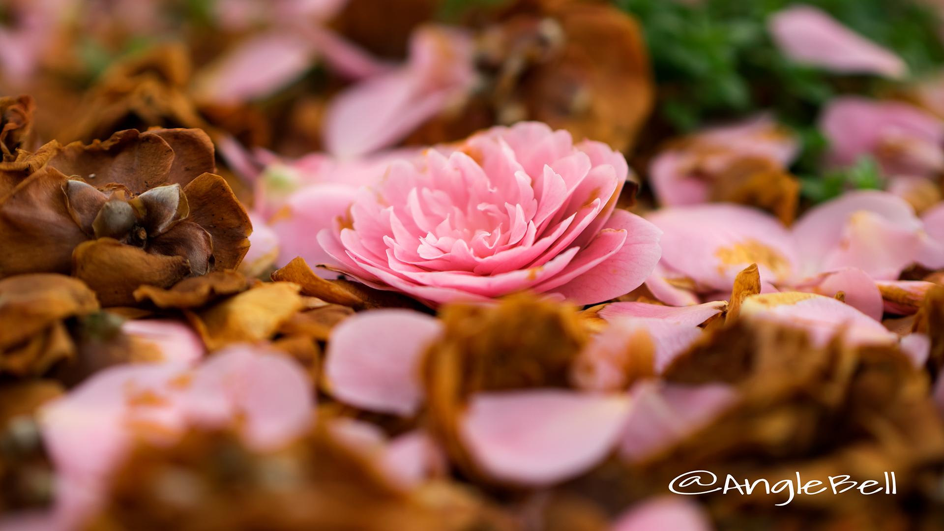 オトメツバキ 乙女椿 Flower Photo4