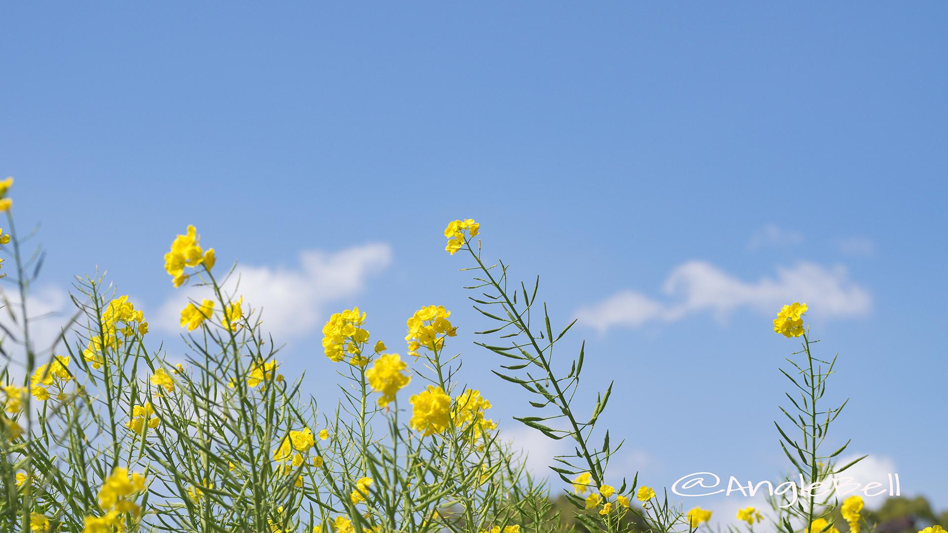ナノハナ 菜の花 Flower Photo5