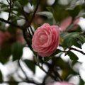 オトメツバキ 乙女椿 Flower Photo1